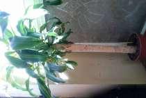 Пальма, каланхоэ, растения домашние, в Санкт-Петербурге