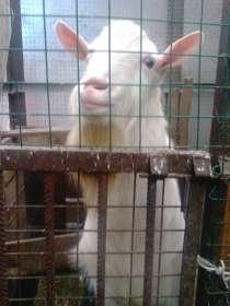 Вязка Зааненского безрогого козла, в Санкт-Петербурге