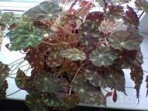 Растение отдам даром, в г.Минск