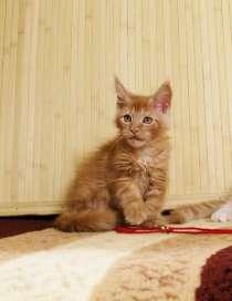 Кошечка мейн-кун в разведение, в Новосибирске
