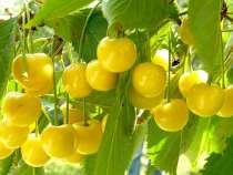 Саженцы плодовых растений и кустарников, прививки, в Калуге