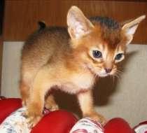 Наши Абиссинские котята- самые что ни на есть абиссинские, в г.Кобрин