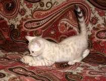 Бенгальские котята, в Москве