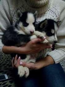 Продам щенков Сибирский Хаски, в Красноярске