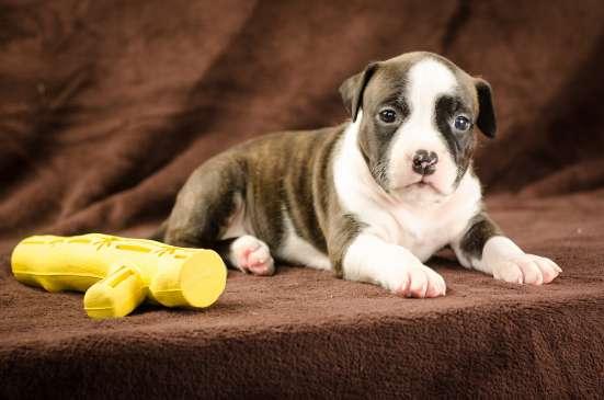 Такой щенок станет для Вас незаменимым компаньоном