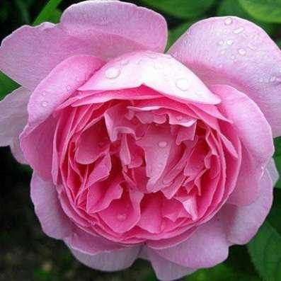 Саженцы английских роз