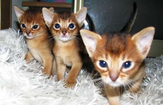 Абиссинские котята Питомник абиссинских кошек sunnybunny. by