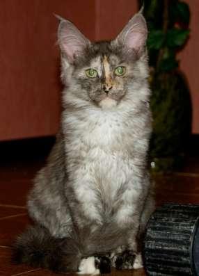 Продаю чистопородную кошечку мейн кун в Санкт-Петербурге Фото 1