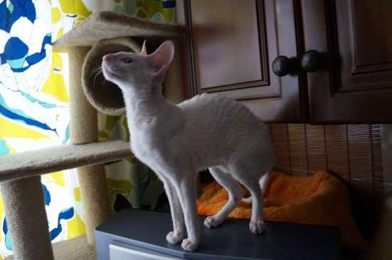 Эксклюзивных окрасов малыши / котята в Москве Фото 3