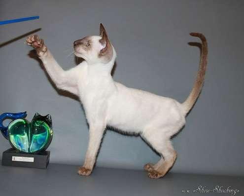 Сиамские котята, современного типа в Казани Фото 3
