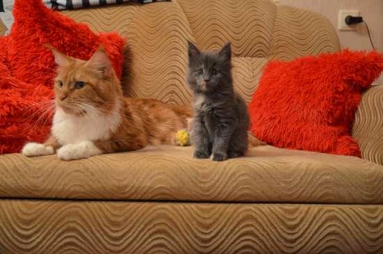 Котята мейн-кун в Сыктывкаре Фото 5