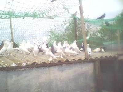 Продам голубей разных пород в г. Крымск Фото 2