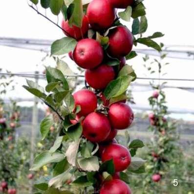 Саженцы яблонь с красной мякотью
