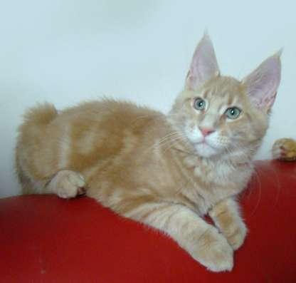 Котята мейн кун в продаже мэйн кун в Томилино Фото 2