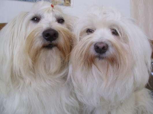Котон-де-Тулеар щенки