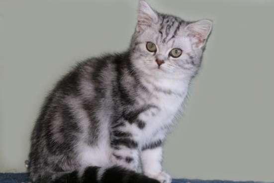Британский котик черный мрамор на серебре