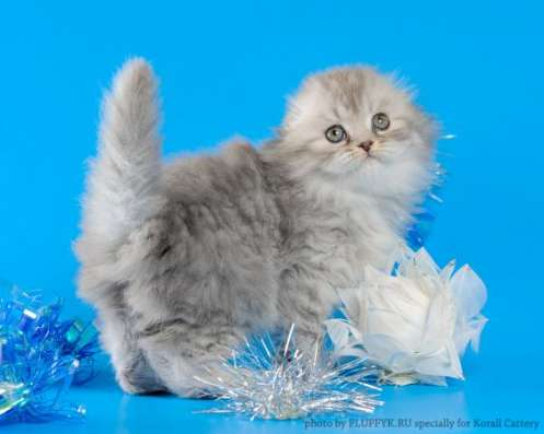 Шотландские котята в Москве Фото 4