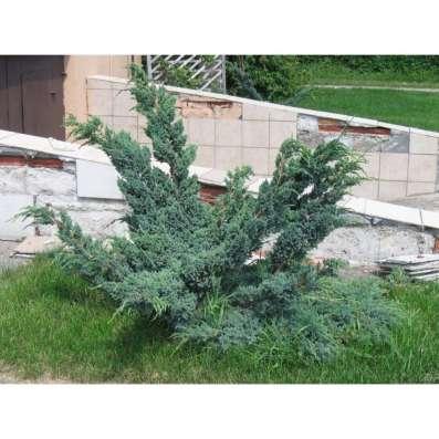Саженцы декоративных деревьев и кустарников
