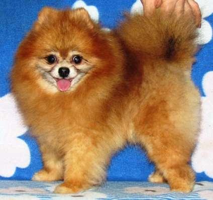 Померанского шпица малюсенький щенок в Краснодаре Фото 1