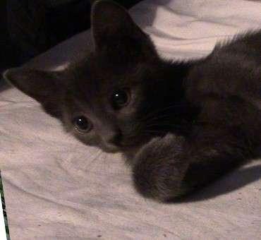 Голубой котёнок-полубританец 1,5 месяца