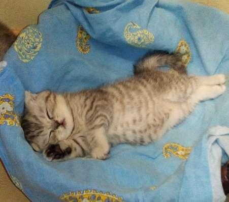 Клубный шотландский котенок в Одинцово Фото 3