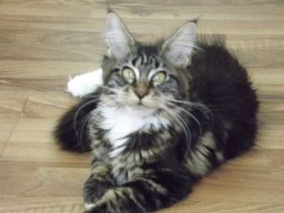 Котята мейн-кун в Новороссийске Фото 3