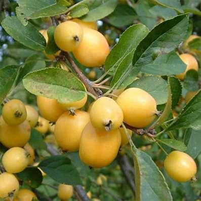 Саженцы райской яблони сортовые в г. Минск Фото 4