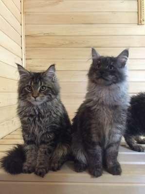 Коты мейн-кун питомник