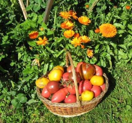 продам сорта томатов коллекционных сортов
