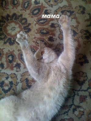 Продаю котенка британской породы