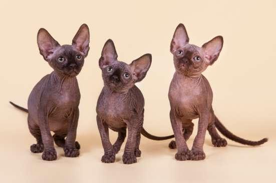 Cфинкс, это кошка с другой планеты в Саратове Фото 1