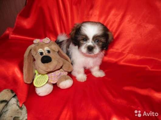 Продаю щенка ши-тцу 2,5 мес в Таганроге Фото 4