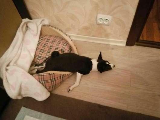 Басенджи щенки черного и рыжего окраса