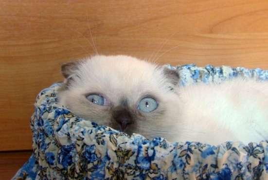 Шотландские вислоухие и страйт котята