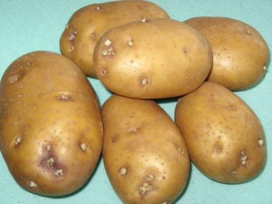 Элитный семенной картофель - почтой в Москве Фото 1