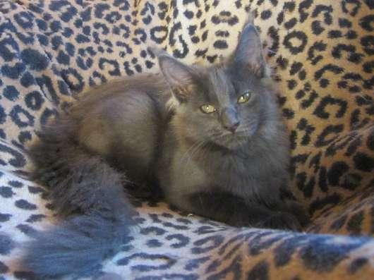 Котята мейн-кун в Уфе Фото 2