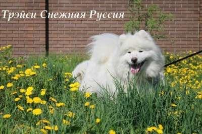 Самоед щенки в г. Новый Уренгой Фото 5