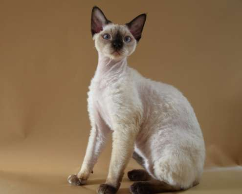 Котик породы девон-рекс