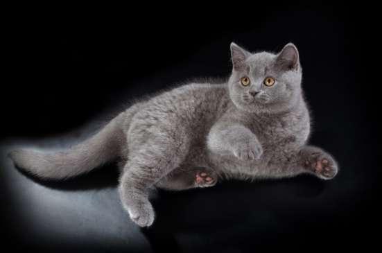 Британские короткошерстные голубые котята в Санкт-Петербурге Фото 2