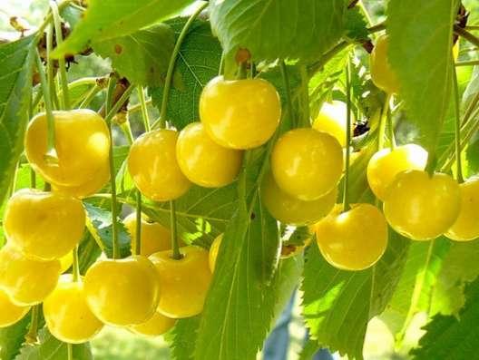 Саженцы плодовых растений и кустарников, прививки