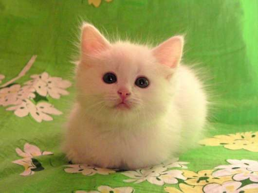 Белый котёнок ждёт хозяина. Возможна доставка.