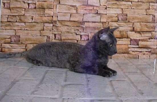 Уральский рекс кудрявый кот окрас голубой в Липецке Фото 2