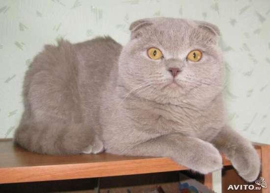 Предлагаю на вязку кота шотландского вислоухого