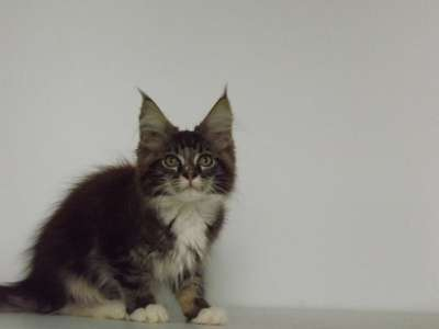 Мейн-кун котята в г. Аксай Фото 5