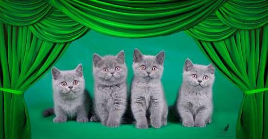 Элитные британские котята