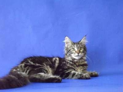 Котята мейн-кун из питомника в Пятигорске Фото 4