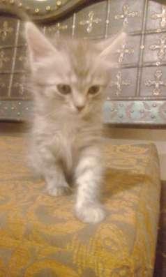 Котята эрмики в Краснодаре Фото 4