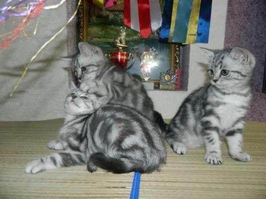 Шикарные британские котята