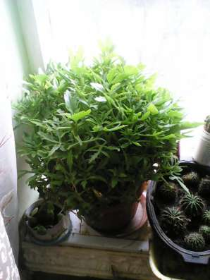 Продаю Коланхоэ и другие комнатные цветы в Волгограде Фото 2