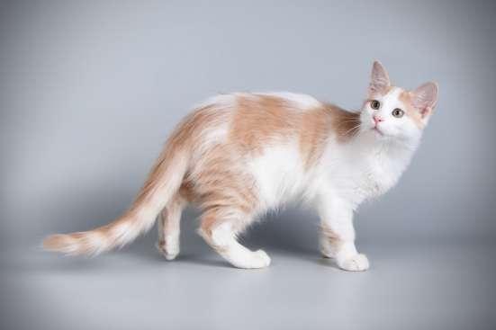 Котята редкой породы Афродита